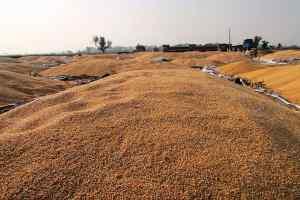 लुट रहा है किसान - बर्बाद हो रहा है लाखों टन अनाज